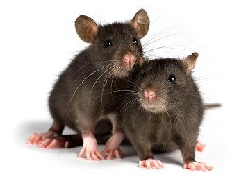 deux images pour un titre Rats