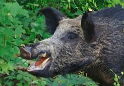 feral-pig