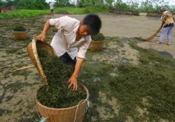 Chinese Prickly Ash Production In Jiangjin District Of Chongqing