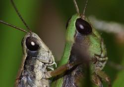 crickets-nyt