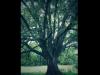 The Pilgrim's Oak Tree